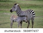Stock photo zebra with a newborn foal in ngorongoro conservation area tanzania 583897657