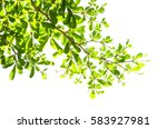 green leaf isolated on the... | Shutterstock . vector #583927981