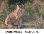 African Lion In Wildlife