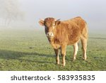limousin cow in the meadow in a ... | Shutterstock . vector #583935835