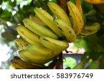Fully Ripen Bunch Of Bananas O...