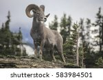 Bighorn Sheep    Ovis...