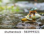 flying frog  tree frog  frog on ... | Shutterstock . vector #583999321
