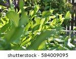Hosta  Funkia  Plantain Lily...