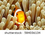 Clown Anemonefish  Amphiprion...
