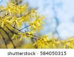 Blooming Yellow Forsythia...