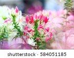 Beautiful Cleome Flower  Cleom...