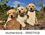 Stock photo three purebred puppies labrador retriever on the wood focus on the first 58407418