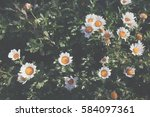 vintage style of daisy flowers... | Shutterstock . vector #584097361