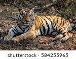 Impressive Bengal Tiger Restin...