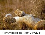A Lioness Sprawls On Her Back ...
