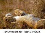 A Lioness Sprawls On Her Back ...