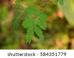 Small photo of Algaroba, Prosopis humilis