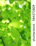 leaves of fresh green. leaves... | Shutterstock . vector #584372809