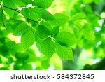 leaves of fresh green. leaves... | Shutterstock . vector #584372845
