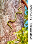 Small photo of Green snake is climbing on the tree.Snake, Green pit viper, Asian pit viper, Trimeresurus (Viperidae) in nature