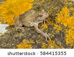 Small photo of Adult female of Common midwife toad, Alytes obstetricans basking over a granite rock covered with yellow lichen