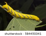 Small photo of Death's-head hawkmoth (Acherontia sp.) eating leaves