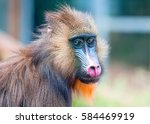 Portrait Of The Adult Mandrill