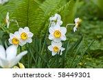 Bright Spring Daffodil Flowers  ...