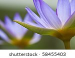 Closeup Purple Water Lily Petals