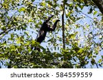 "Small photo of A Black Howler monkey (Alouatta pigra) climbs in the canopy of a forest in Belize. Commonly known as ""baboons"" in Belize, these large primates can be heard howling from miles away."
