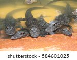 Small photo of american alligator