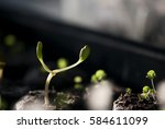 a lupine seedling sprouts out... | Shutterstock . vector #584611099