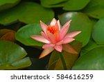a beautiful pink flower of... | Shutterstock . vector #584616259