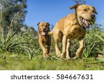 Stock photo pet animals brown dog playing 584667631