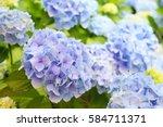 hydranga in uk garden  blue... | Shutterstock . vector #584711371