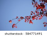 Red Leaves Of The Red Maple...