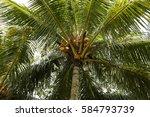 coconut tree | Shutterstock . vector #584793739
