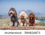 Three Poodles Sitting Side By...