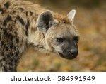 spotted hyena   crocuta crocuta | Shutterstock . vector #584991949