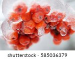 Winter Snow Berries. Rosehip I...