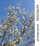 Small photo of Blossomed almond tree branches