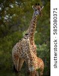 south african giraffe  giraffa... | Shutterstock . vector #585080371