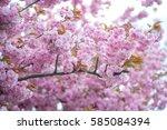 kwanzan cherry branches in...   Shutterstock . vector #585084394