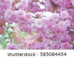 kwanzan cherry tree blooming...   Shutterstock . vector #585084454