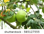 Apples On Tree In Fruit Garden