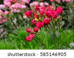 Stock photo elegant and beautiful pink roses from the rose garden 585146905