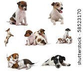 Stock photo composite picture with purebred jack russel terrier on a white background 58523170