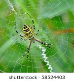 Yellow Black Spider In Her...