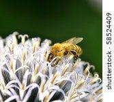 Pollinating Honeybee On Thistle.