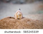 Black Tailed Prairie Dog ...