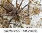 Small photo of Wild Whip spider or Tailless whip scorpion (Amblypygi) from Ecuador