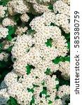 Small photo of White flowering Spiraea vanhouttei