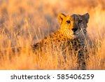 cheetah in the etosha national... | Shutterstock . vector #585406259
