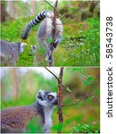 Two Pictures Of Lemurs. A...
